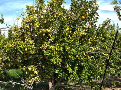 The Gilcrease Orchard Pears