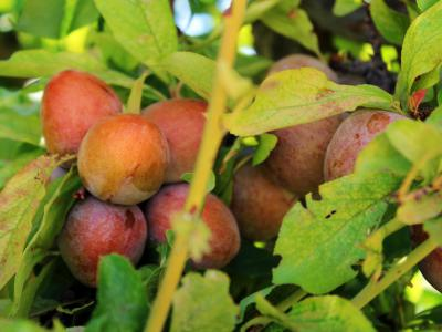 The Gilcrease Orchard Plums
