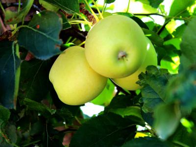 The Gilcrease Orchard Apples