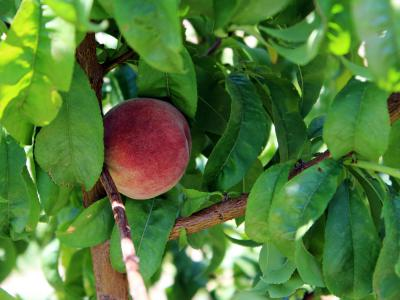 The Gilcrease Orchard Peach