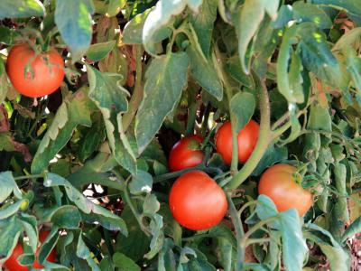 The Gilcrease Orchard Tomatoes